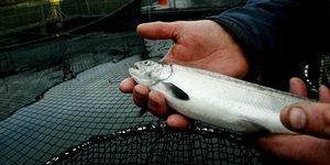 Rapprochement Chine-Norvège : une 'bonne nouvelle' pour les producteurs de saumon